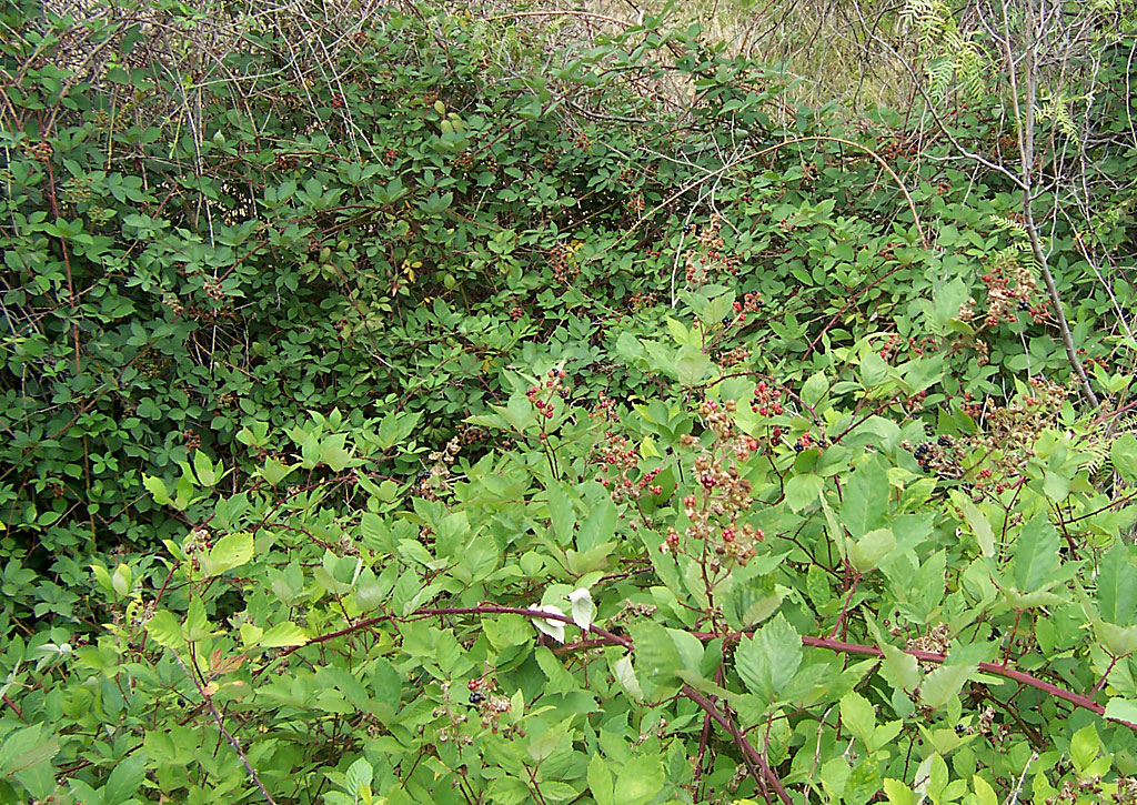 blackberry shrubs