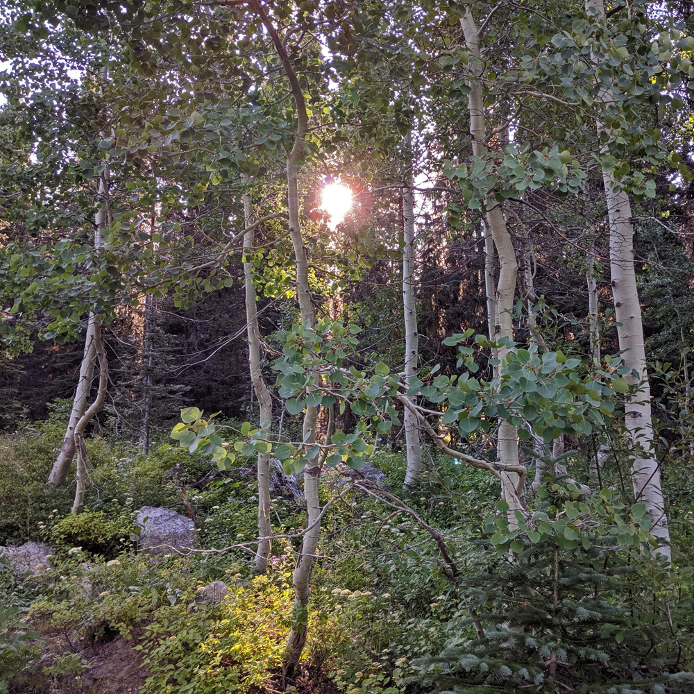 sunlight through aspen