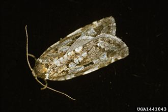 budworm moth