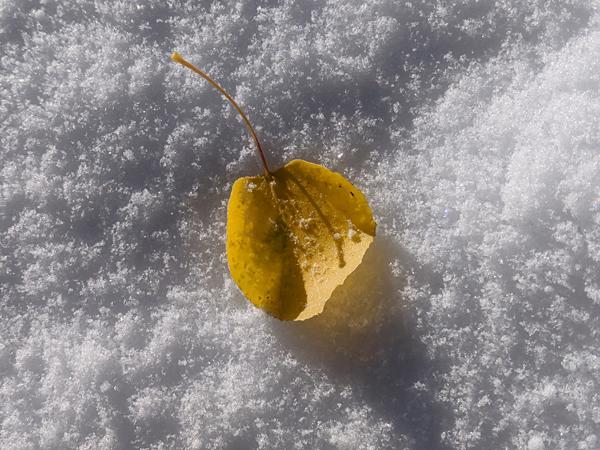 aspen leaf on snow
