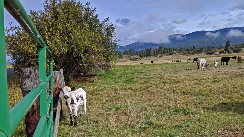 calf in pasture