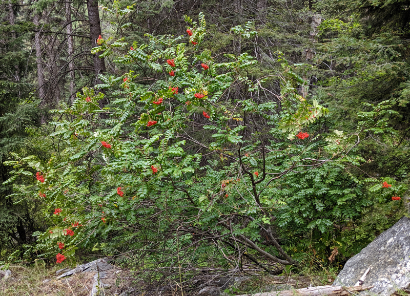 mountain ash with berries