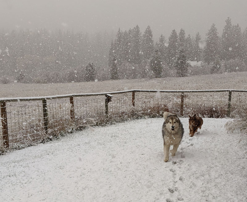 dogs running in snowy yard