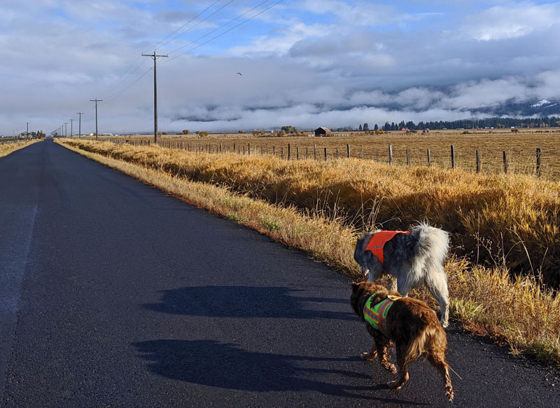 dogs walking on rural road