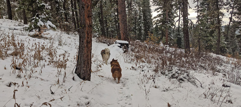 dogs running on snowy trail