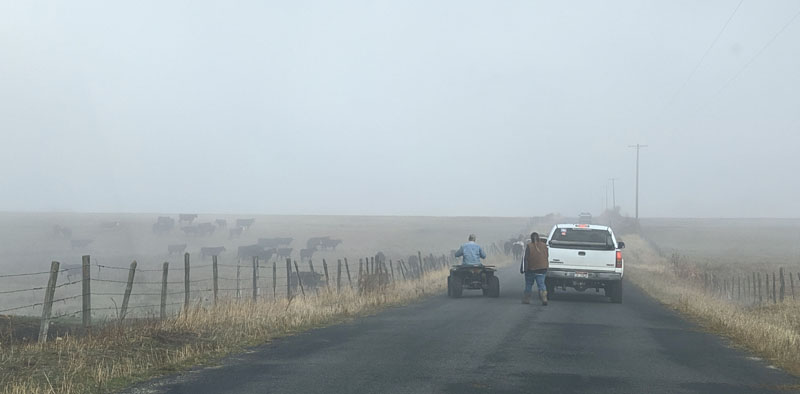 cattle, truck, people on road