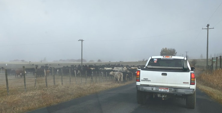 cattle, truck on road