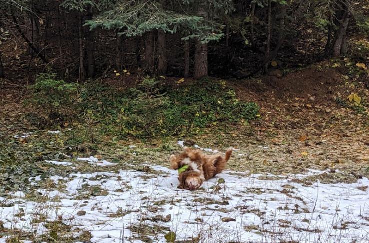 dog rolling on snow