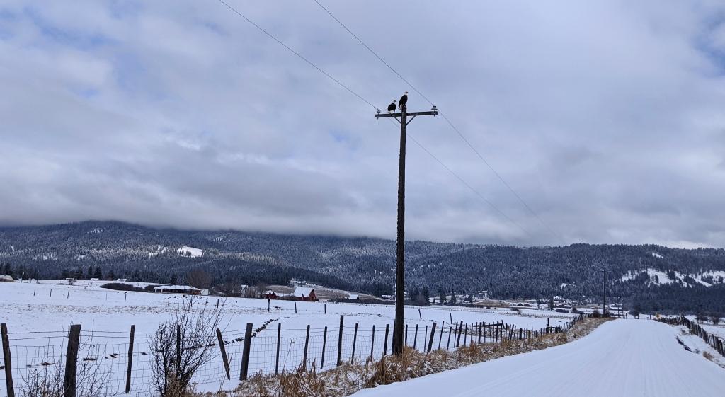 eagles on telephone pole