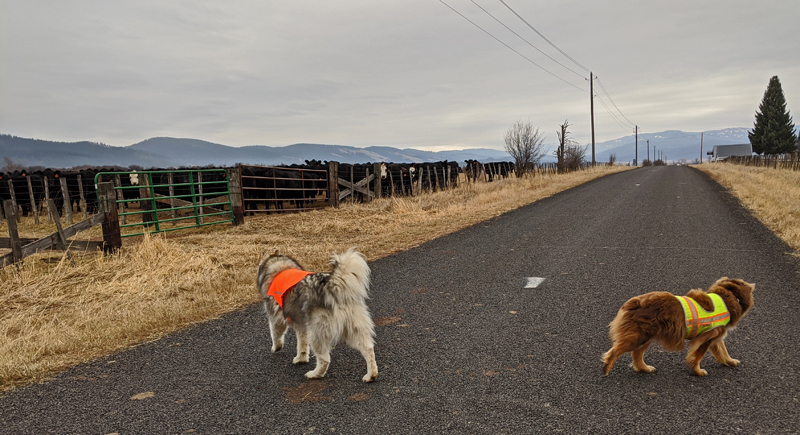 dogs on road, cattle in pasture