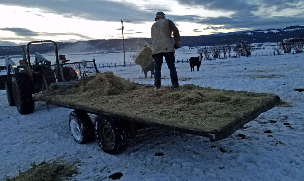 man pitching hay from trailer