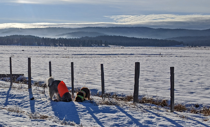 dogs in snow, fence