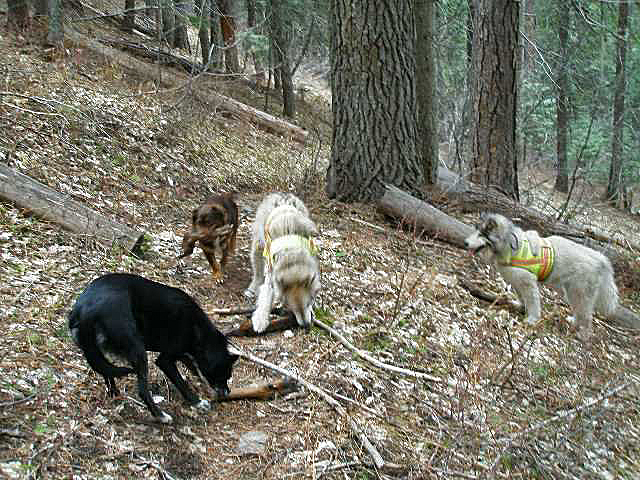 four dogs on trail
