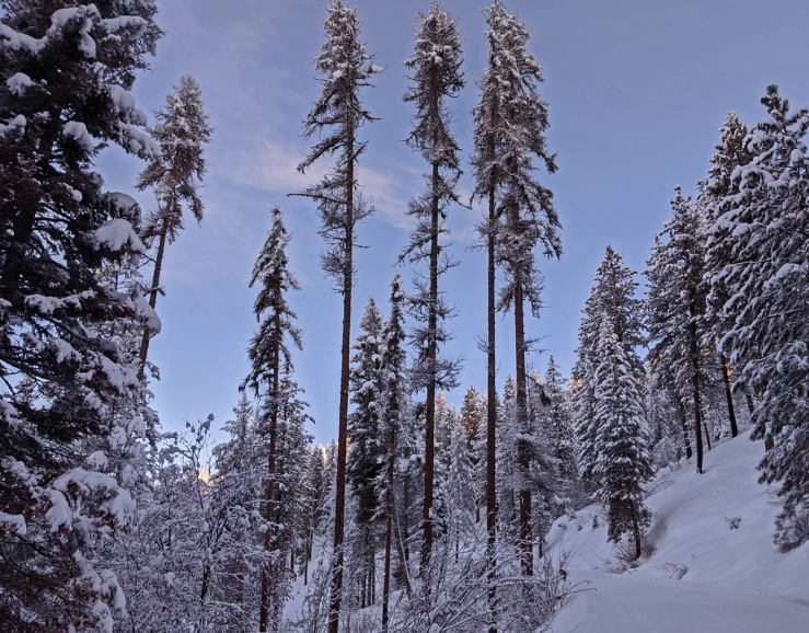 tall trees in snow