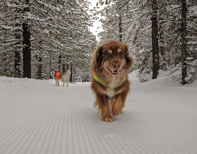 dogs on groomed snow trail