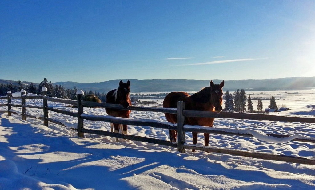 horses in snow at fence
