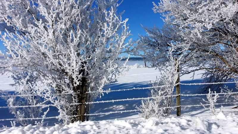 frosty shrubs and fence