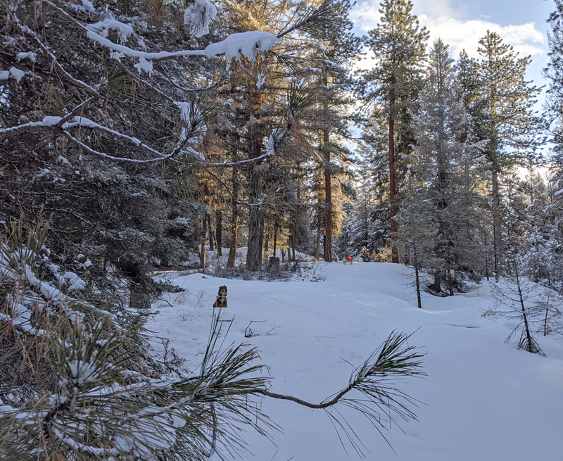 forest, snow, dogs