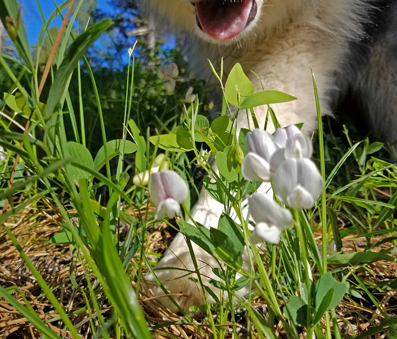 wildflowers, dog