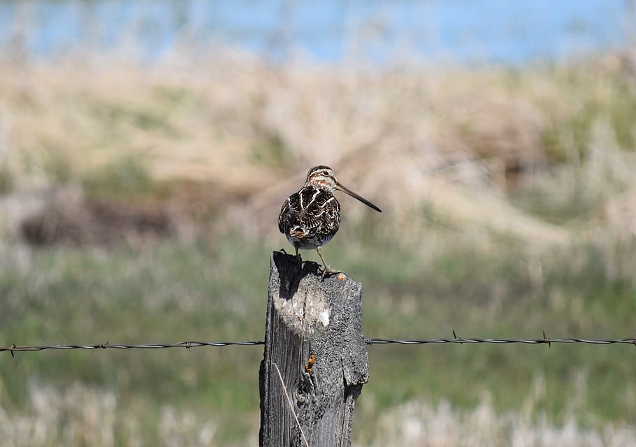 Wilson's snipe on fence post