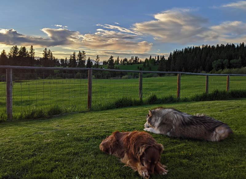 dogs, yard