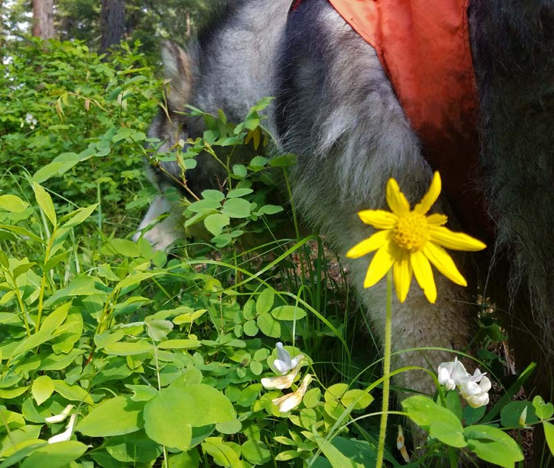 dog, wildflowers