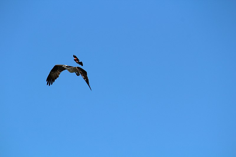 red-wing blackbird chasing osprey