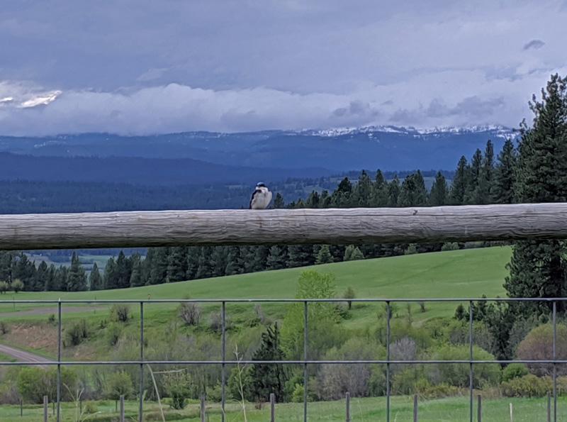 tree swallow on fence rail
