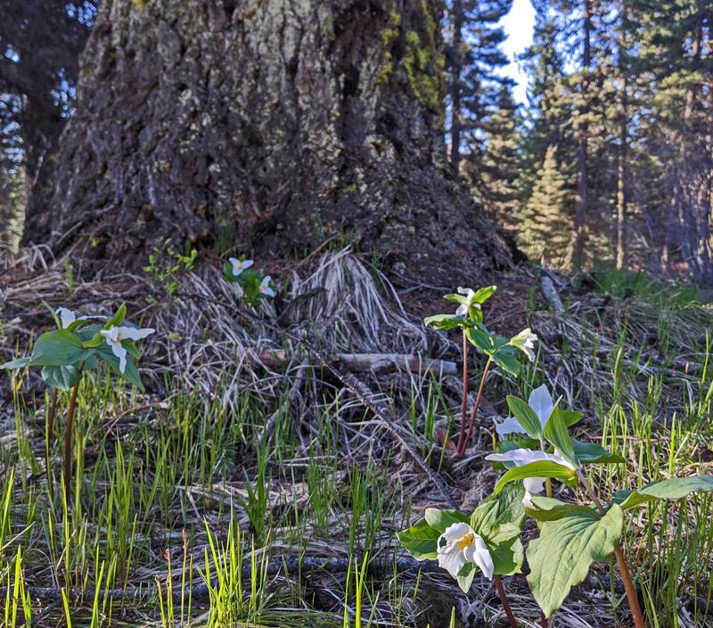 tree trunk, trillium flowers