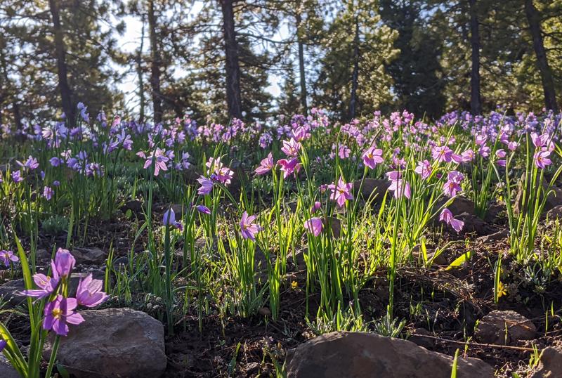 Douglas's grasswidow flowers