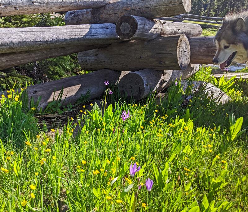 wildflowers, fence, dog