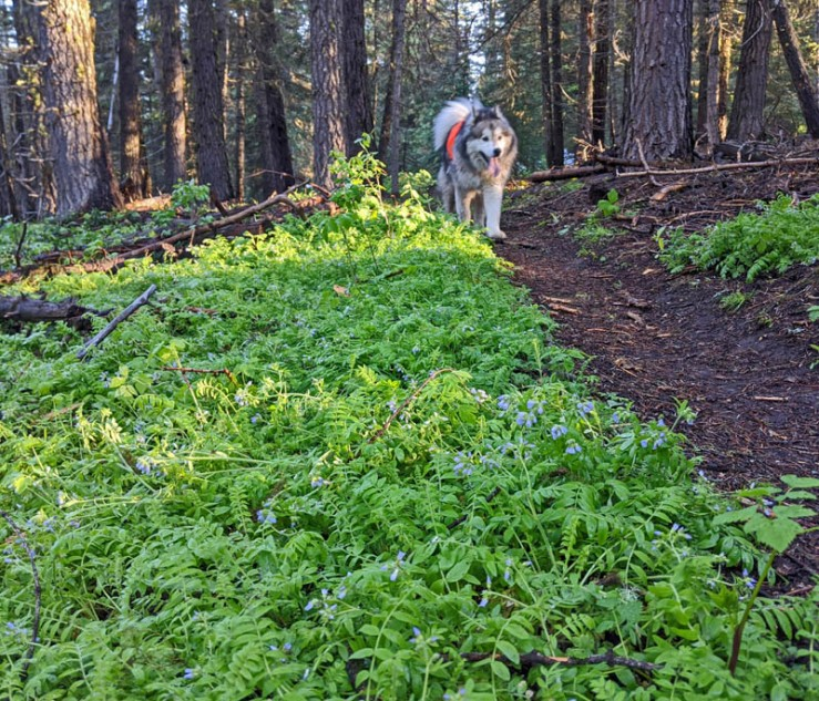 wildflowers, trail, dog