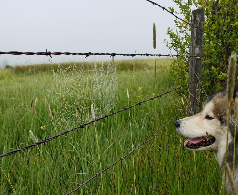 fence, spider web, dog