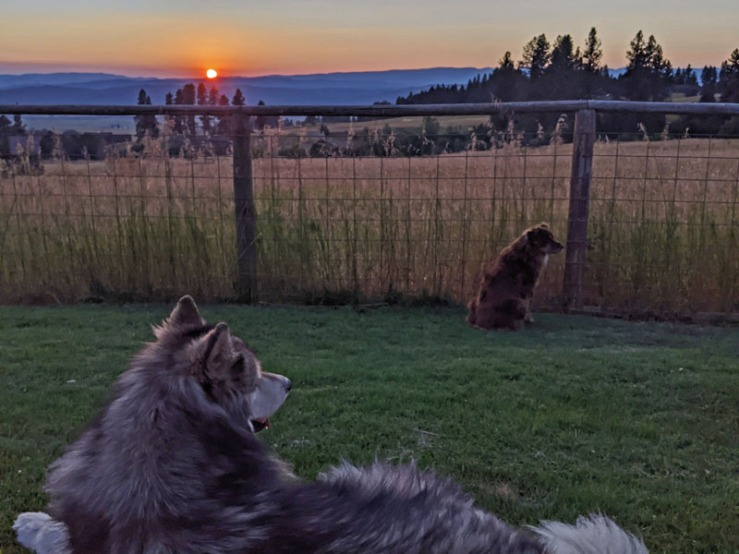 dogs in yard, sunset