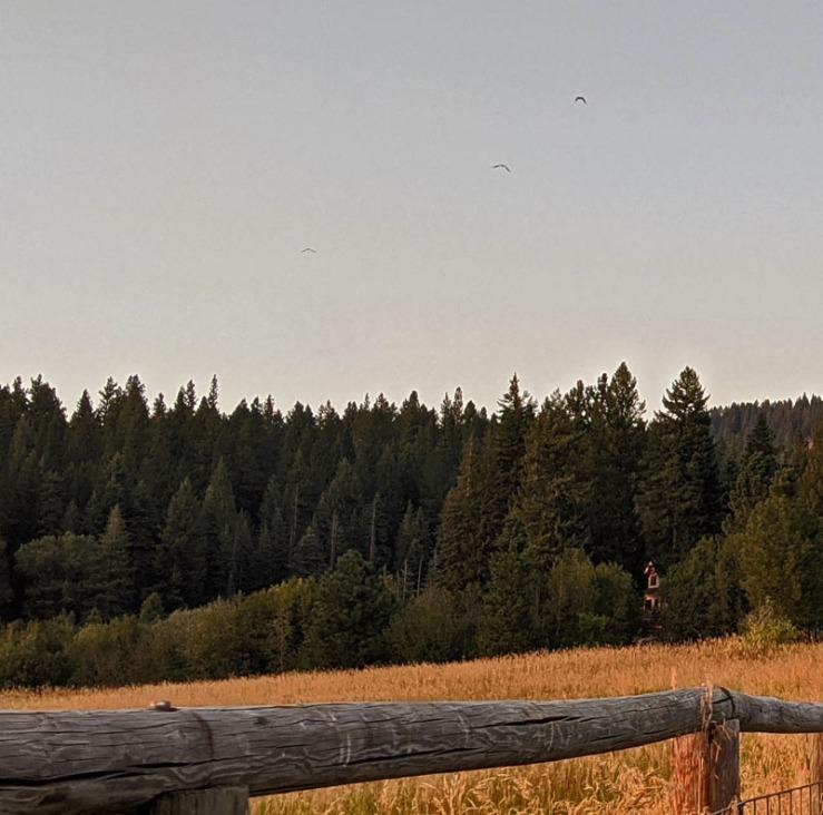 ravens flying, forest, fence