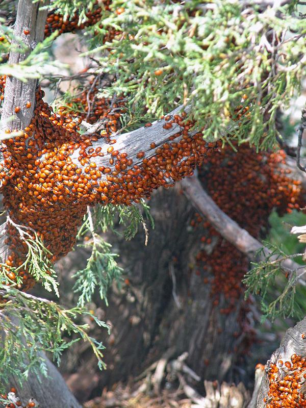 swarm of ladybugs