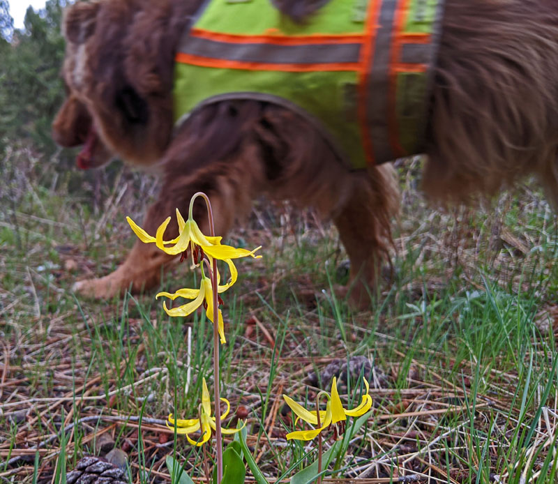 avalanche lilies, dog