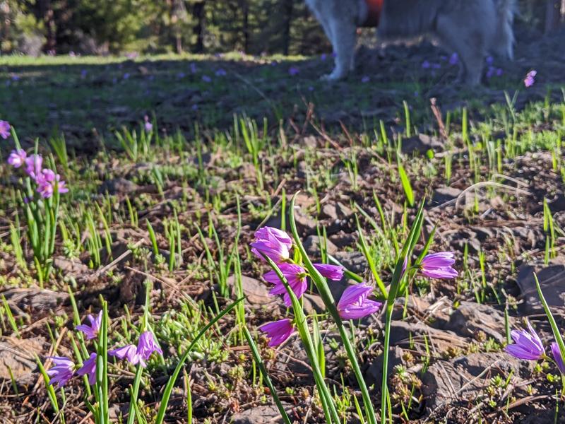 douglas's grasswidows, dog feet