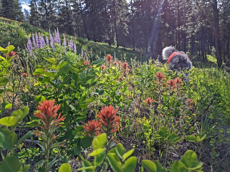 Indian paintbrush, lupine, dog