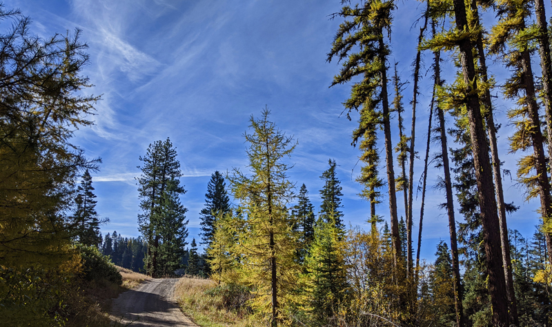 larch trees, road