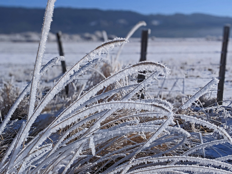 grass fronds with frost