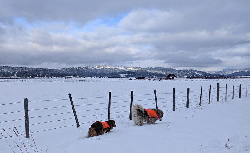 dogs, fence, snow