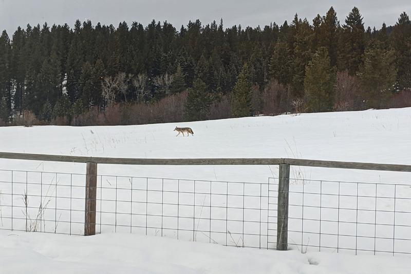 coyote in field