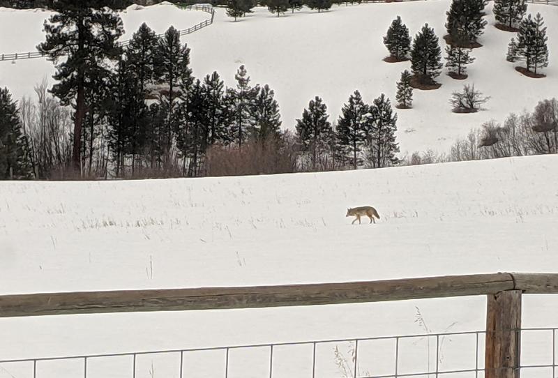 coyote crossing snowy field
