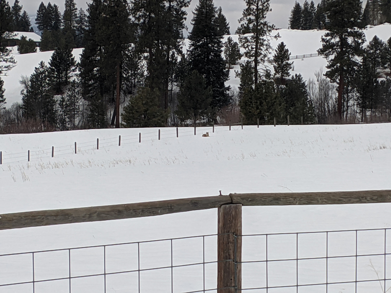coyote in snowy field