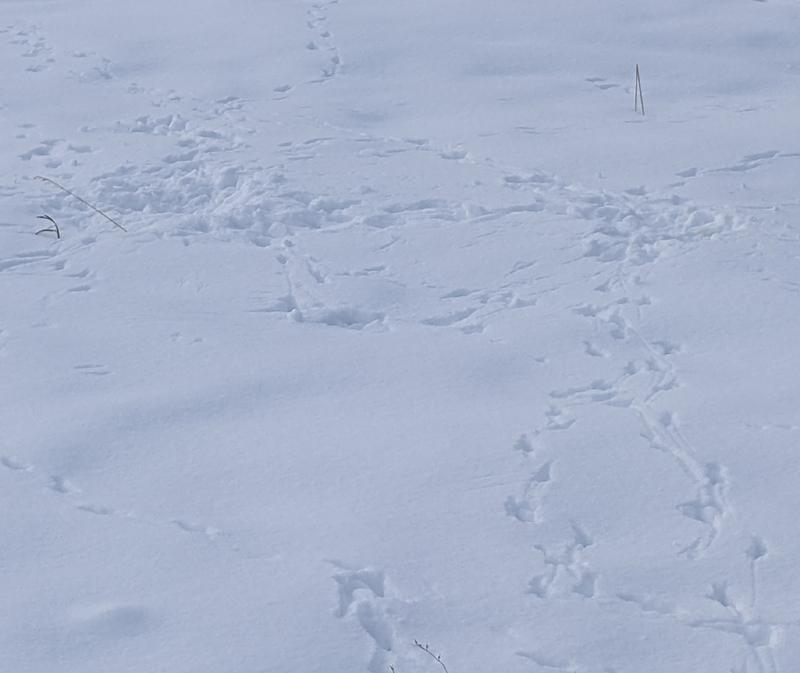 raven tracks in snow