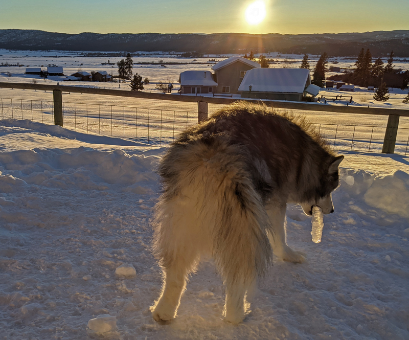 dog with icicle
