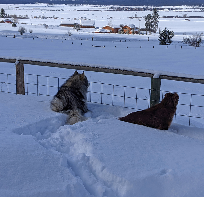 dogs in deep snow at fence
