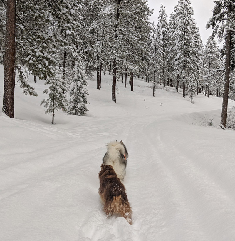 dogs, snow, forest