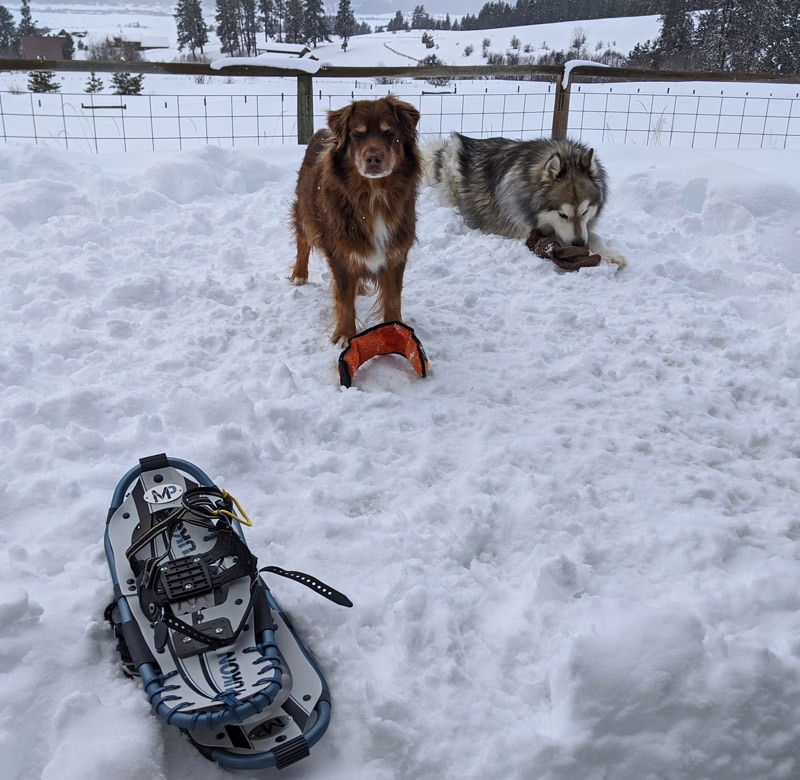snowshoes, dogs, snow